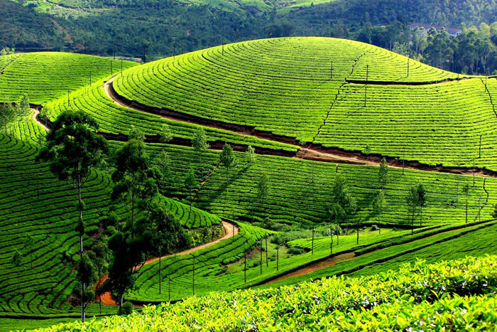 The green plantations of Munnar present a picturesque view