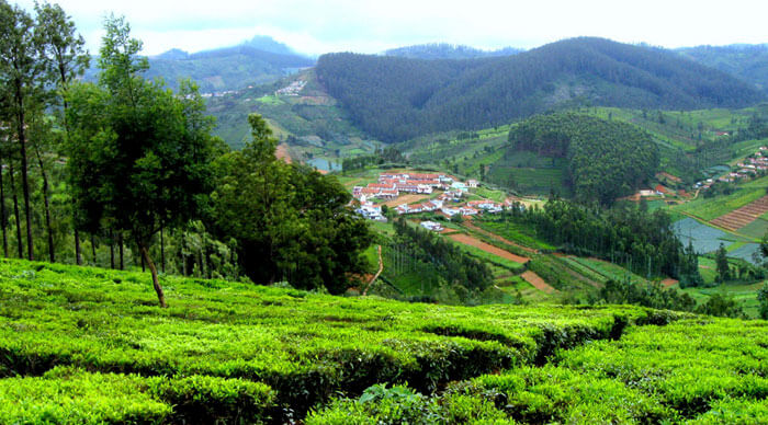 The lush green gardens of Ooty present a splendid view.