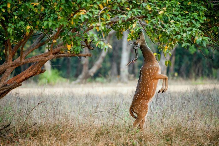 Wild male Cheetal deer eating leaves in the park
