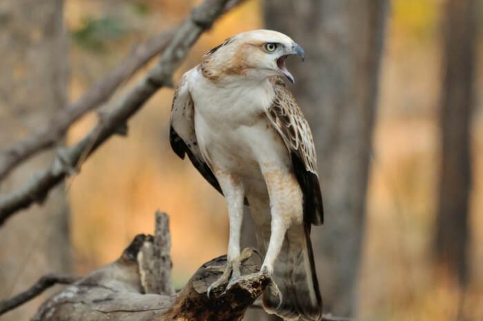 Candid shot of a Crested Hawk Eagle