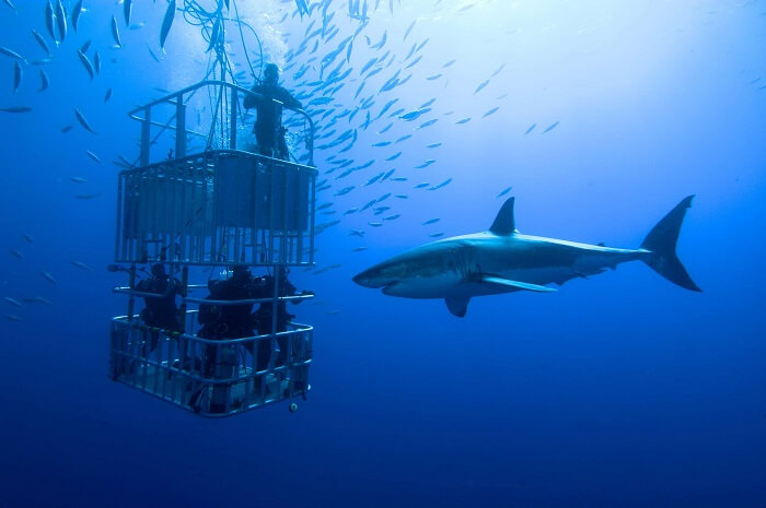 Cage Diving in South Africa