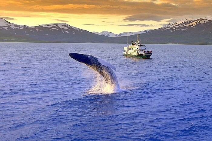 whale watching tour iceland