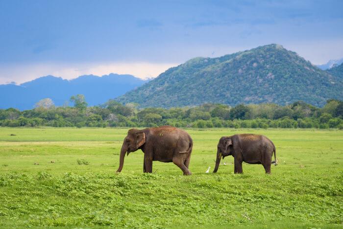 Minneriya & Kaudulla National Parks in Sri Lanka